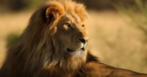 Lion pic